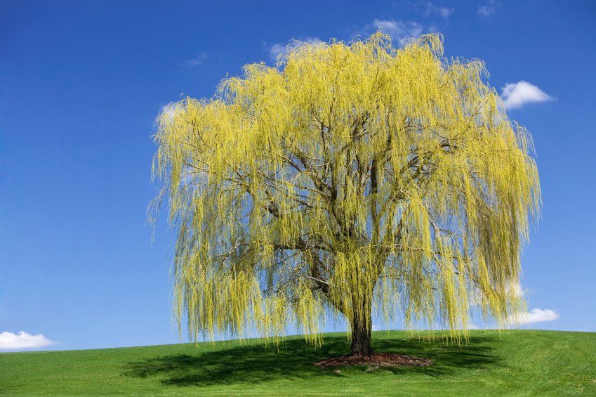 Willow trees and and broad-leaf trees can help purity and restore contaminated soils